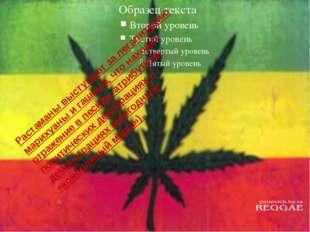 Растаманы выступают за легализацию марихуаны и гашиша, что находит отражение