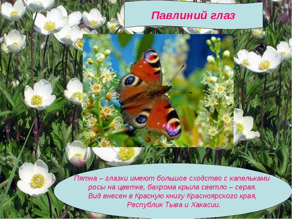 Пятна – глазки имеют большое сходство с капельками росы на цветке, бахрома к...