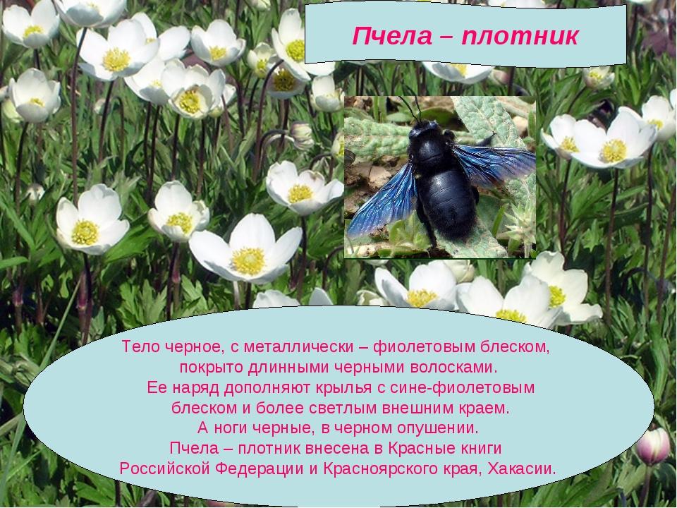 Пчела – плотник Тело черное, с металлически – фиолетовым блеском, покрыто дл...