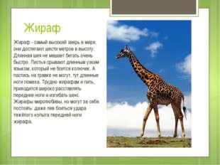 Жираф Жираф - самый высокий зверь в мире, они достигают шести метров в высоту