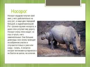 Носорог Носорог недаром получил своё имя: у него действительно на носу рог, а