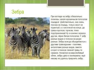 Зебра При взгляде на зебру обязательно скажешь: какая хорошенькая полосатая л