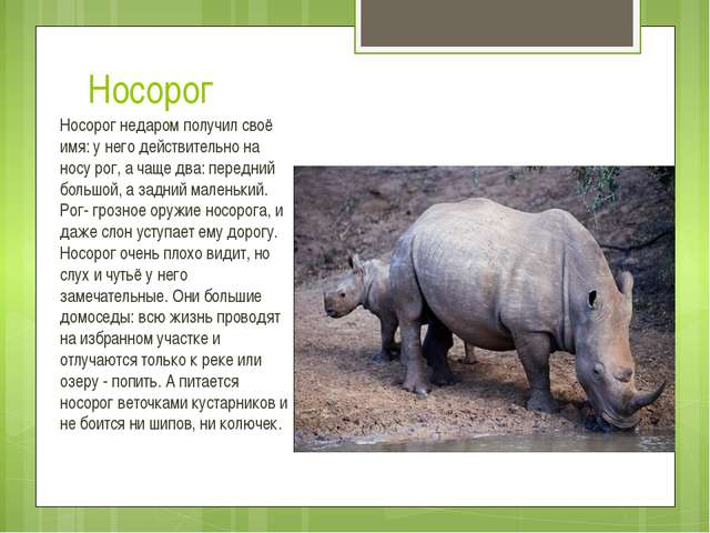 Носорог Носорог недаром получил своё имя: у него действительно на носу рог, а...