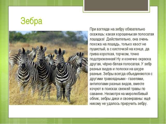 Зебра При взгляде на зебру обязательно скажешь: какая хорошенькая полосатая л...