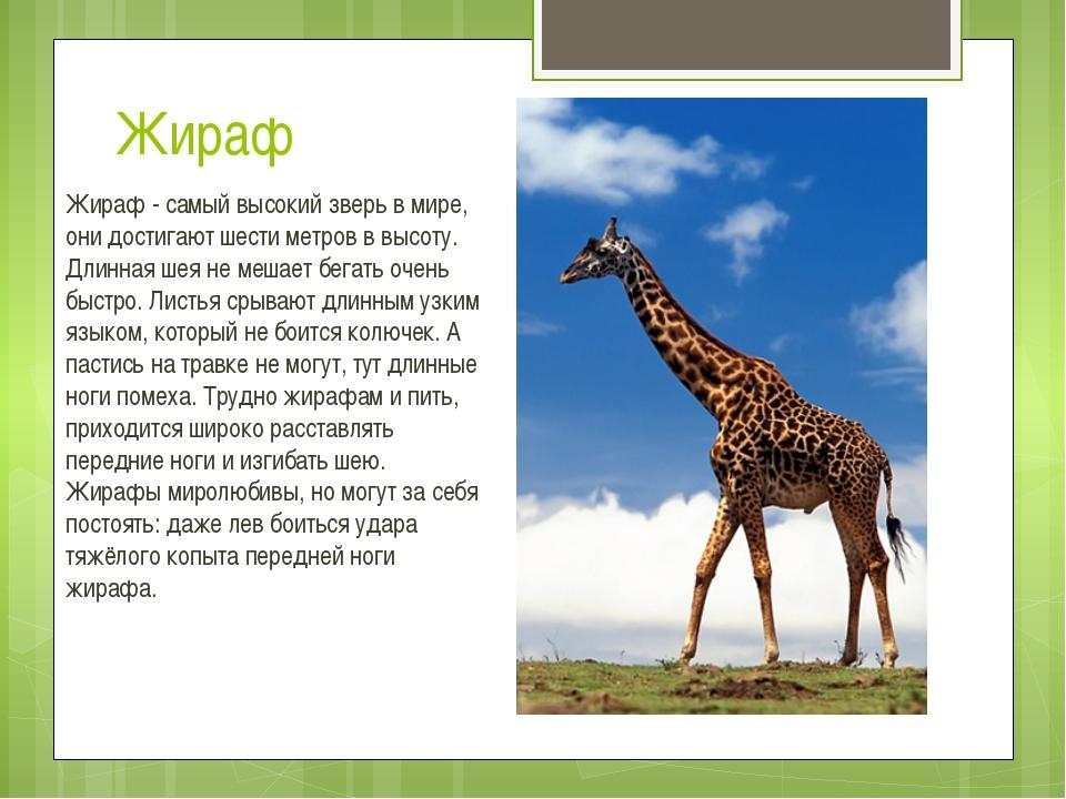 Жираф Жираф - самый высокий зверь в мире, они достигают шести метров в высоту...