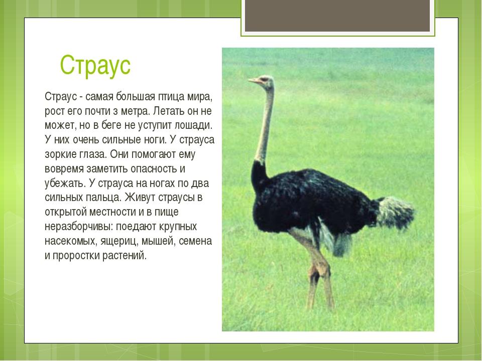 Страус Страус - самая большая птица мира, рост его почти з метра. Летать он н...