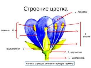 Строение цветка 1 2 3 4 5 6 Написать цифры, соответствующие термину цветоножк