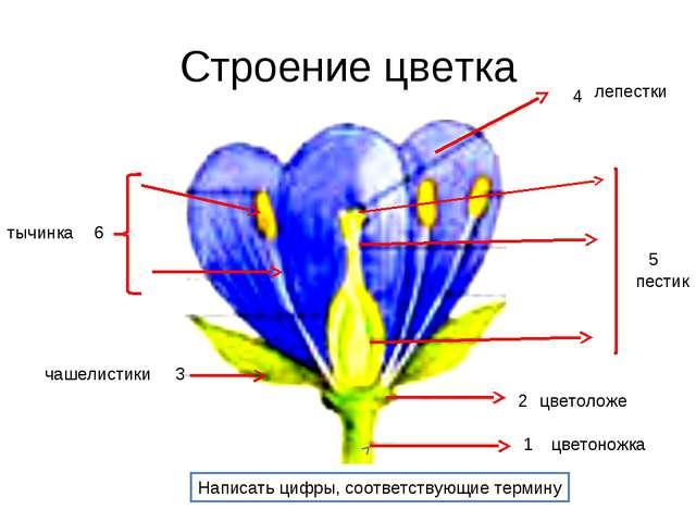 Строение цветка 1 2 3 4 5 6 Написать цифры, соответствующие термину цветоножк...