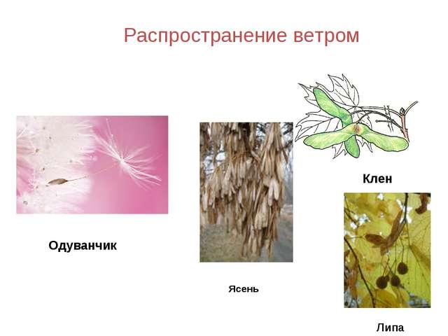 Клен Одуванчик Распространение ветром Липа Ясень