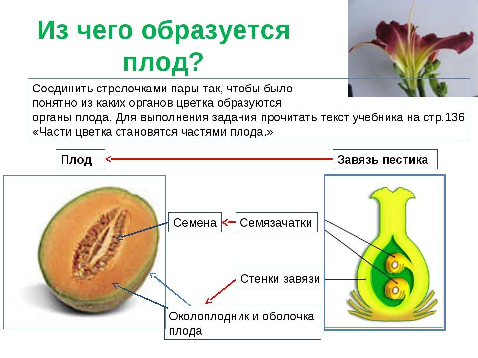 Из чего образуется плод? Плод Стенки завязи Семязачатки Завязь пестика Соедин...