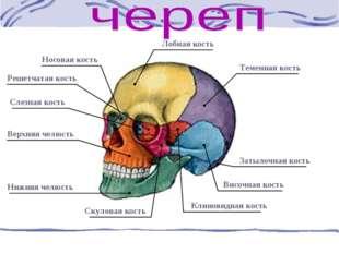 Решетчатая кость Слезная кость Носовая кость Лобная кость Теменная кость Заты