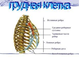 Истинные ребра Грудино-реберные суставы Хрящевые части ребер Ложные ребра Реб