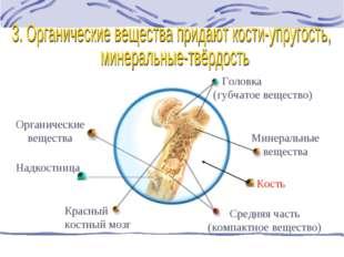Кость Головка (губчатое вещество) Красный костный мозг Средняя часть (компакт