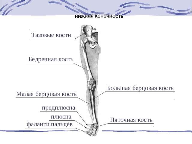 Тазовые кости Бедренная кость Большая берцовая кость Малая берцовая кость пре...