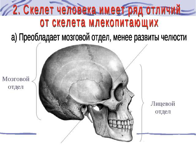 Мозговой отдел Лицевой отдел