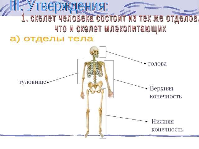 голова Верхняя конечность Нижняя конечность туловище
