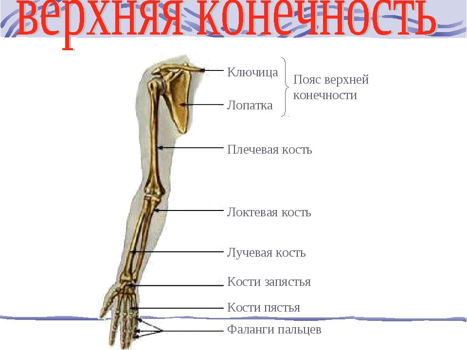 Ключица Лопатка Плечевая кость Локтевая кость Лучевая кость Кости запястья Ко...