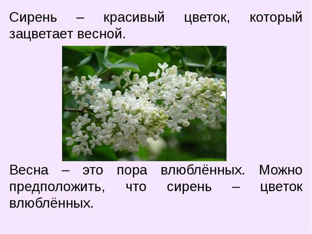 Сирень – красивый цветок, который зацветает весной. Весна – это пора влюблённ...