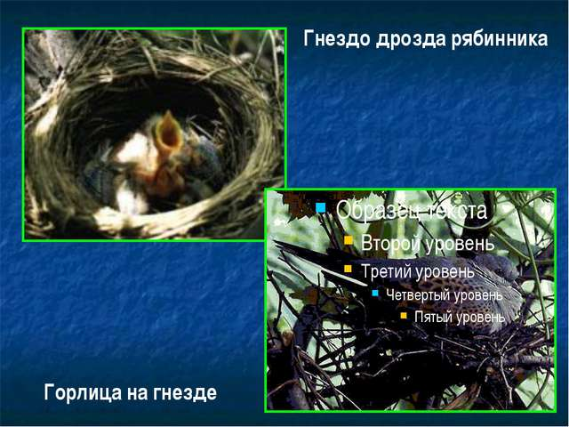 Гнездо дрозда рябинника Горлица на гнезде