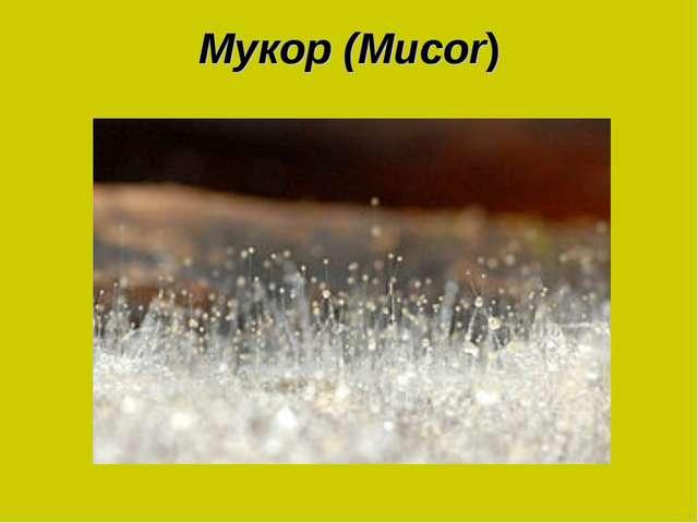Мукор (Mucor)