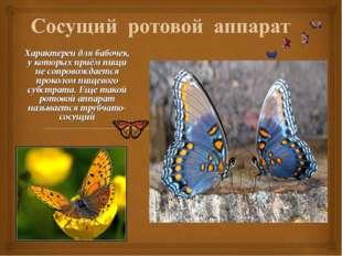 Характерен для бабочек, у которых приём пищи не сопровождается проколом пищев
