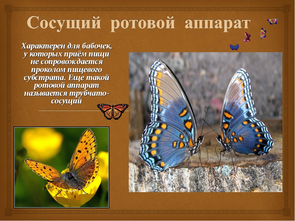 Характерен для бабочек, у которых приём пищи не сопровождается проколом пищев...