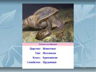 Научная классификация Царство:Животные Тип:Моллюски Класс:Брюхоногие Семей