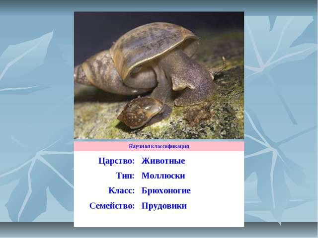 Научная классификация Царство:Животные Тип:Моллюски Класс:Брюхоногие Семей...
