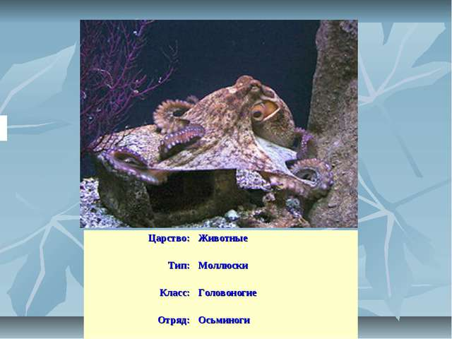 Царство:Животные Тип:Моллюски Класс:Головоногие Отряд:Осьминоги