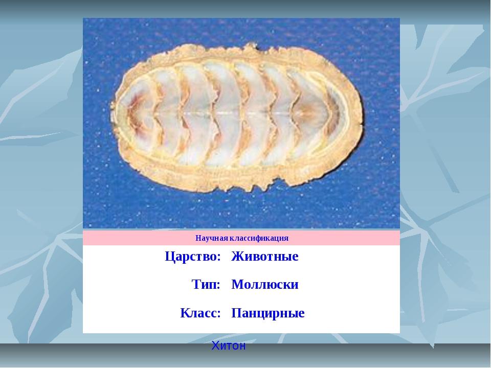 Хитон Научная классификация Царство:Животные Тип:Моллюски Класс:Панцирные