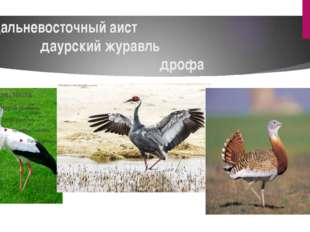 дальневосточный аист даурский журавль дрофа