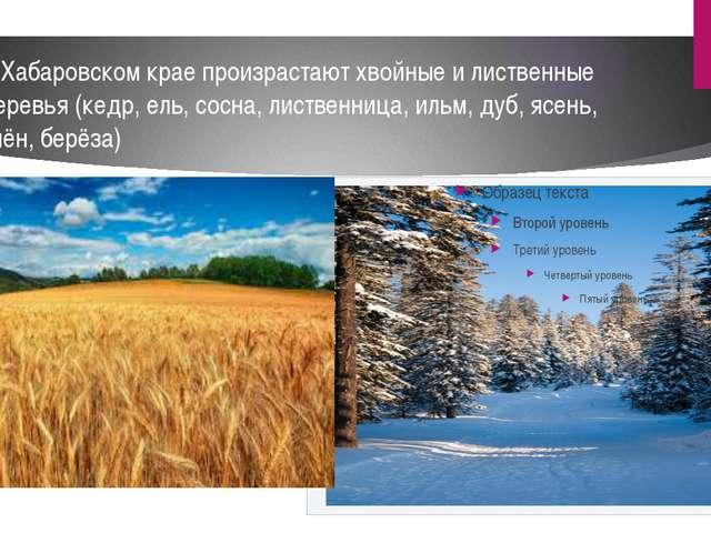 В Хабаровском крае произрастают хвойные и лиственные деревья (кедр, ель, сосн...