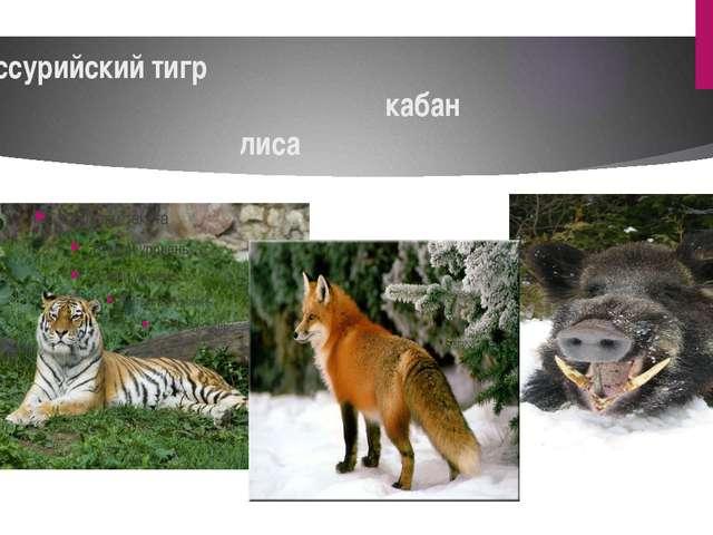 уссурийский тигр кабан лиса