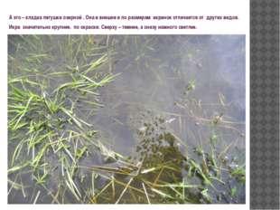 А это – кладка лягушки озерной . Она и внешне и по размерам икринок отличаетс