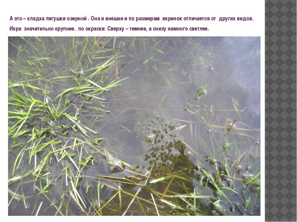 А это – кладка лягушки озерной . Она и внешне и по размерам икринок отличаетс...