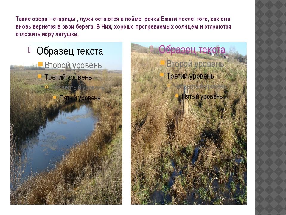 Такие озера – старицы , лужи остаются в пойме речки Ежати после того, как она...