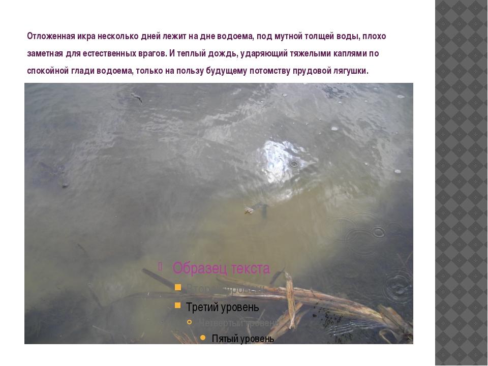 Отложенная икра несколько дней лежит на дне водоема, под мутной толщей воды,...