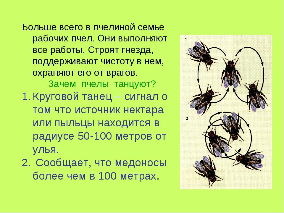 Больше всего в пчелиной семье рабочих пчел. Они выполняют все работы. Строят...