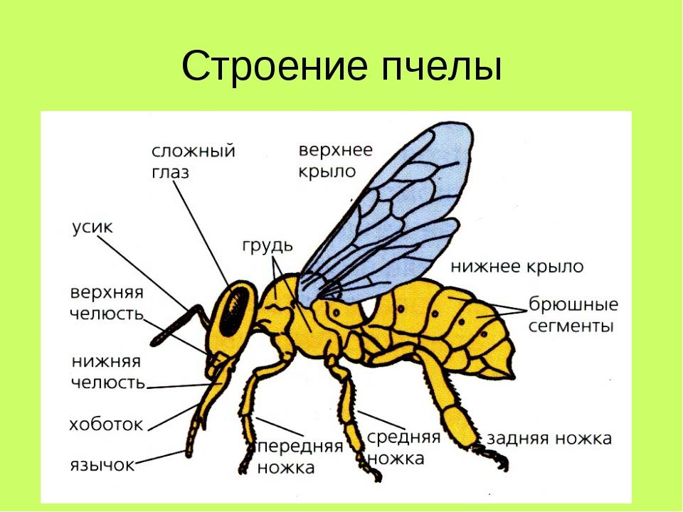 Строение насекомых для детей картинки с пояснением распечатать