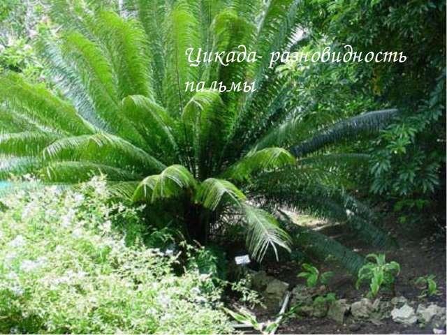 Цикада- разновидность пальмы