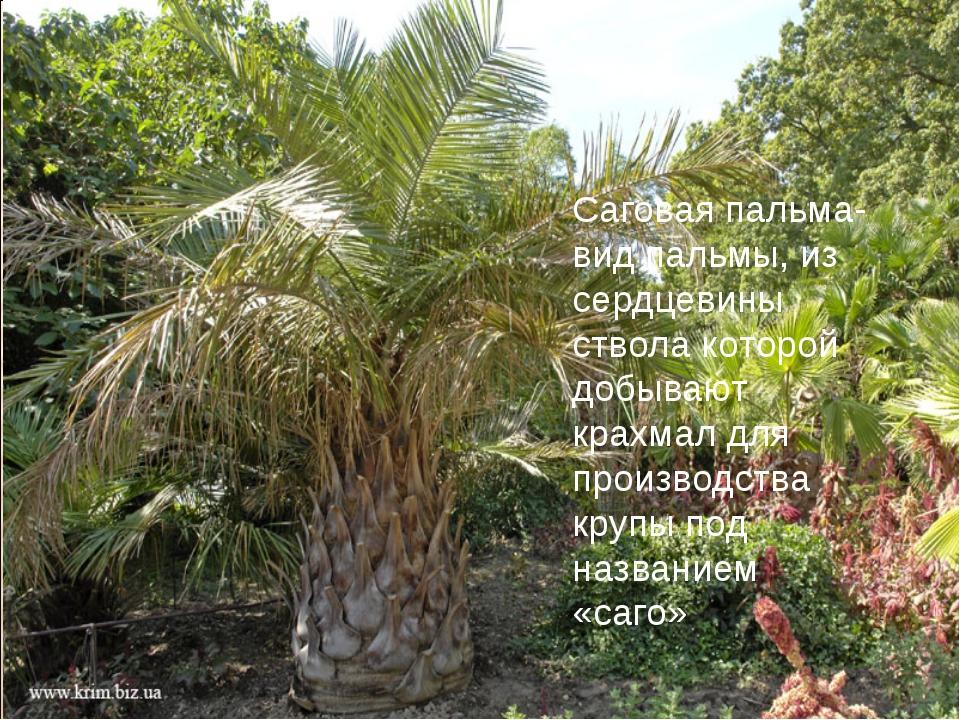 Саговая пальма- вид пальмы, из сердцевины ствола которой добывают крахмал для...