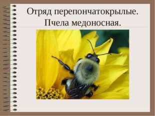 Отряд перепончатокрылые. Пчела медоносная.
