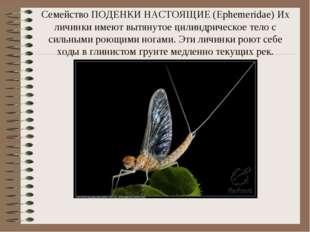 Семейство ПОДЕНКИ НАСТОЯЩИЕ (Ephemeridae) Их личинки имеют вытянутое цилиндри