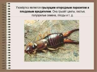 Уховёртка является грызущим огородным паразитом и плодовым вредителем. Она гр