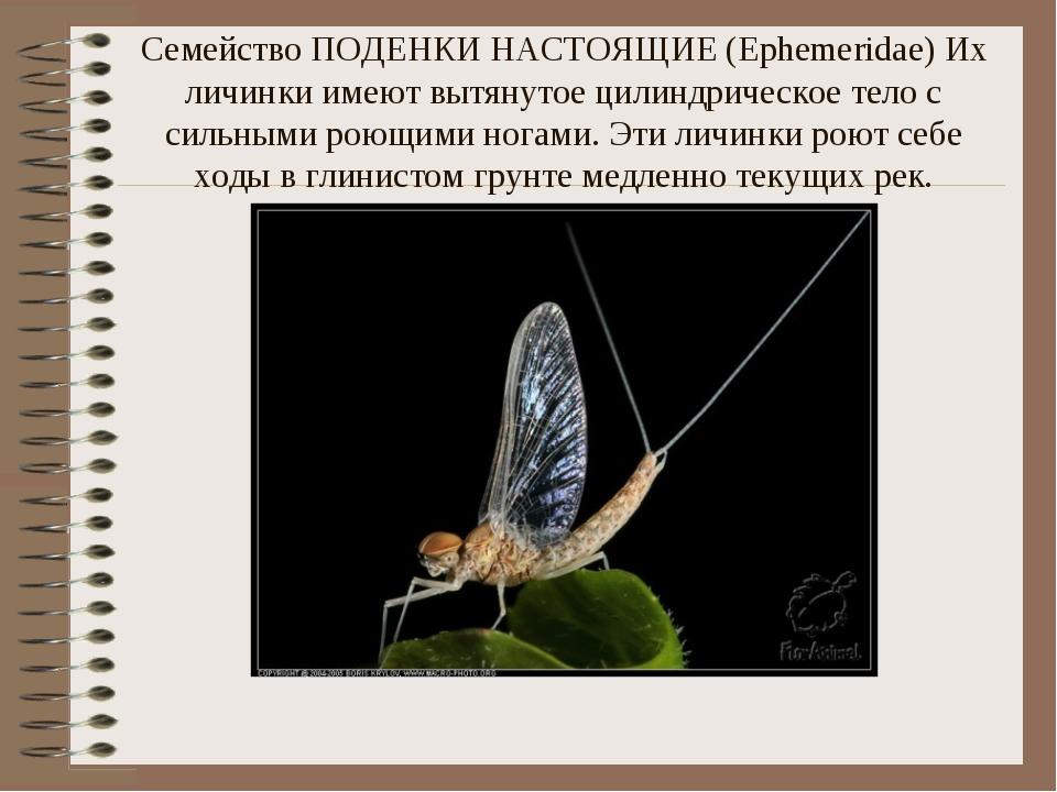 Семейство ПОДЕНКИ НАСТОЯЩИЕ (Ephemeridae) Их личинки имеют вытянутое цилиндри...