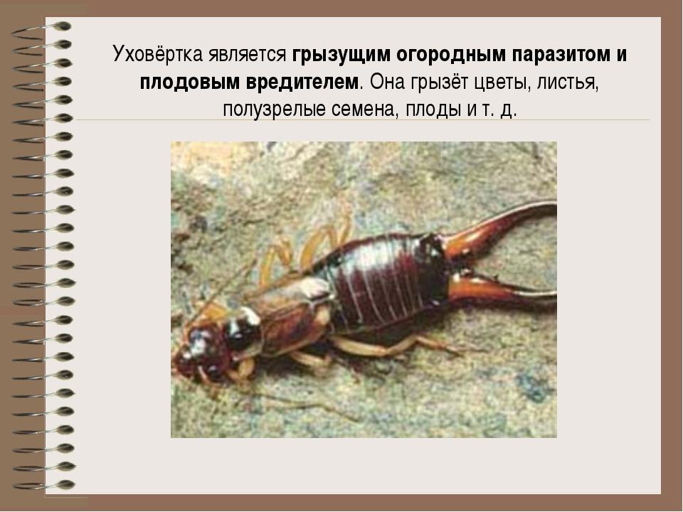 Уховёртка является грызущим огородным паразитом и плодовым вредителем. Она гр...