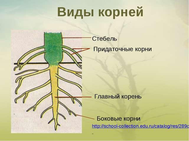 Виды корней Стебель Придаточные корни Главный корень Боковые корни http://sc...