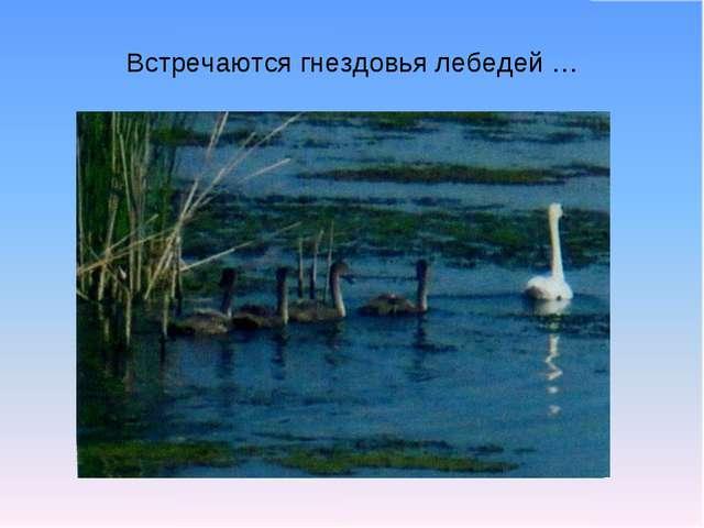 Встречаются гнездовья лебедей …