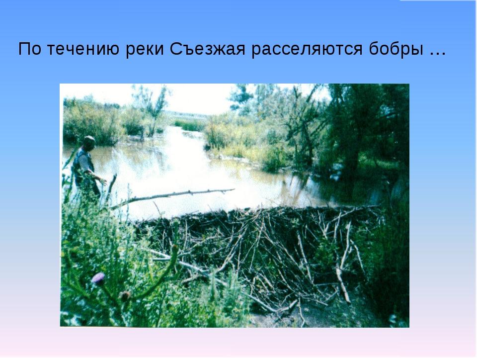 По течению реки Съезжая расселяются бобры …