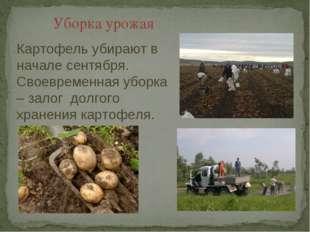 Уборка урожая Картофель убирают в начале сентября. Своевременная уборка – зал